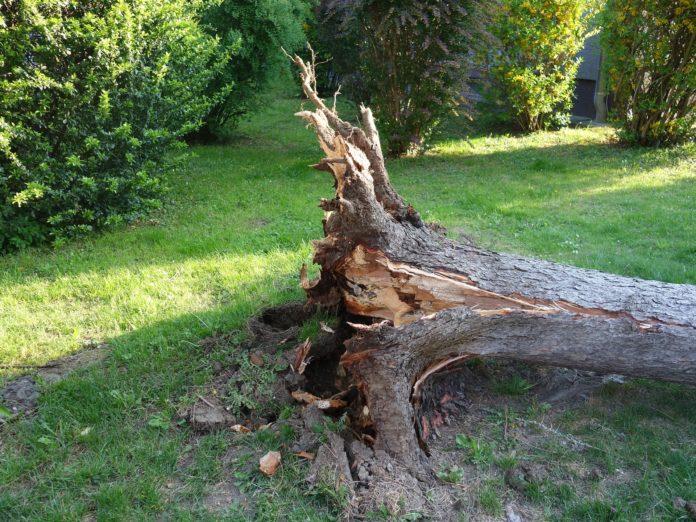 Ein entwurzelter, umgekippter Baum. Symbolfoto.