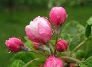 Rosen im Regen. Symbolfoto.