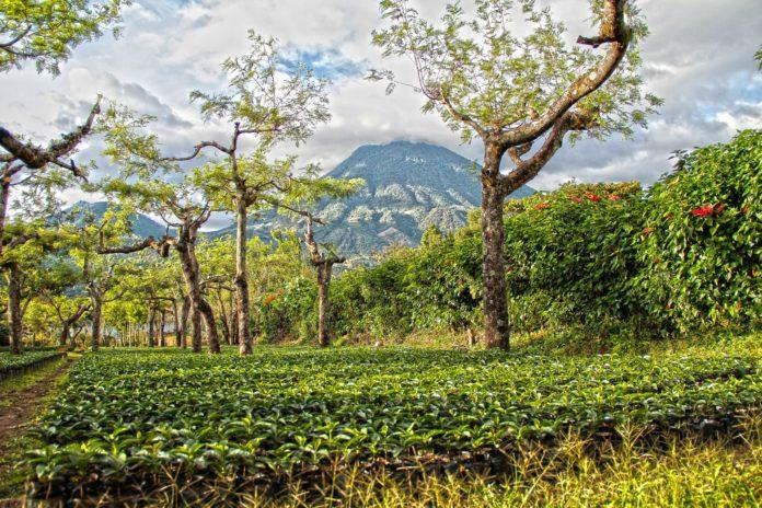 Eine Kaffeeplantage in Guatemala. Foto: Dan Ramirez