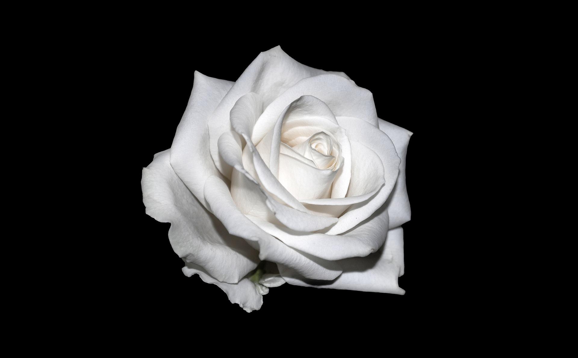 Weiße Rose nannte sich eine in ihrem Kern von Studenten dominierte, sich wesentlich auf christliche und humanistische Werte aus der Tradition der bündischen Jugend berufende deutsche Widerstandsgruppe gegen die Diktatur des Nationalsozialismus.