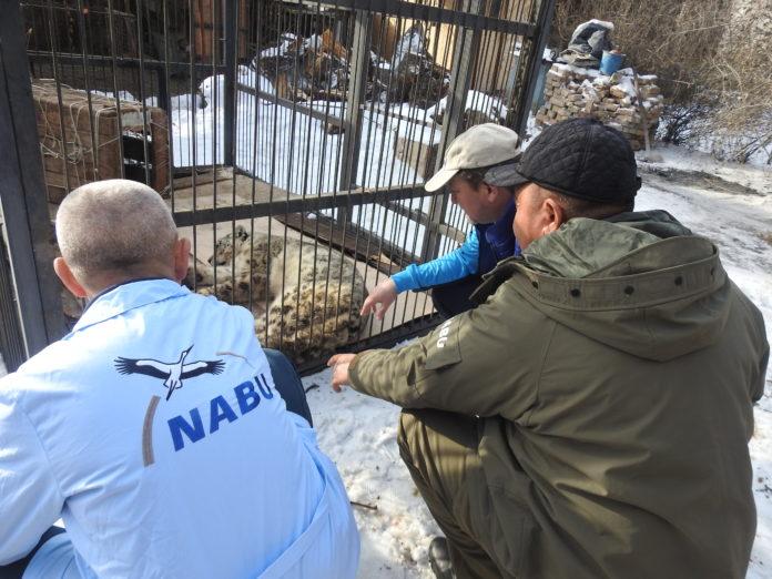 In Kirgistan hat der NABU in den vergangen Tagen zwei Schneeleoparden aufgegriffen, die Opfer von Mensch-Wildtier-Konflikten sind. Einer davon, die Schneeleopardin Akmore, wurde bereits in das NABU-Rehabilitationszentrum nach Ananjewo gebracht. Foto: obs/NABU Kirgistan