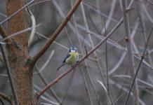 Blaumeisen sind nicht immer leicht zu entdecken. Foto: Bruno Natura