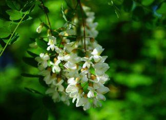 Gewöhnliche Robionie mit weißem Blütenstand. Foto: Hans Braxmeier / pixybay.com