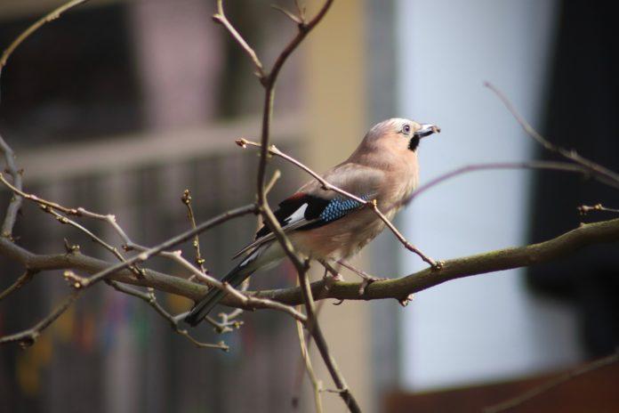Zur Stunde der Wintervögel zeigte sich in der Natur-Schule Grund ein Eichelhäher.