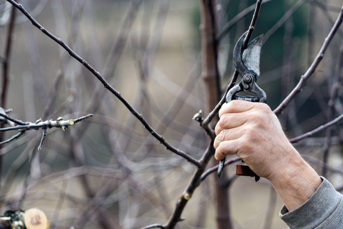 Der richtige Schnitt will schon beim Jungbaum gelernt sein, damit der Baum später reich an Früchten ist. Foto: MireXa