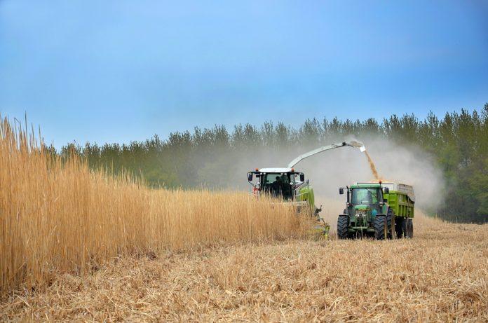 Landwirte bei der Ernte. Foto: Yves Bernardi