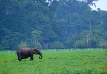 """Waldelefant vor Regenwald aus der 3sat-Doku: """"Gabun - Der Schatz im Regenwald"""". Foto: obs/3sat/ZDF/ORF/W.ZipsFilmprod./W Zips"""