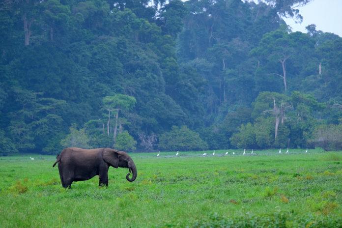 Waldelefant vor Regenwald aus der 3sat-Doku: