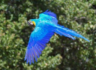 Blauer Ara. Foto: Christel Sagniez