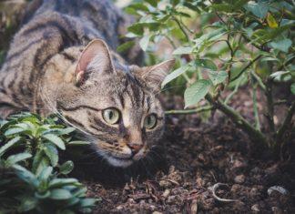 Getigerte Hauskatze im Garten. Foto: Sa Ka
