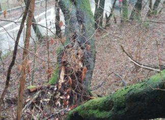 """Die eine Hälfte des """"Baum-Zwiesels"""" (Stamm-Gabelung) war hangaufwärts geknickt, die andere drohte hangabwärts auf die Straße zu knicken. Foto: Betriebshof/Stadt Radevormwald"""