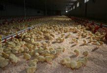 Tausende Hühnerküken auf kleinstem Raum bleiben nicht nur weiterhin erlaubt, diese Art der Haltung, die dem Tierwohl zuwider läuft, ist die häufigst genutzte.