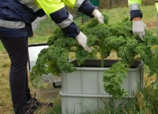 In eigenen Kisten und ohne Kontakt in den Boden war der Grünkohl an acht Messstellen aufgestellt worden. Foto: UvK/Ennepe-Ruhr-Kreis
