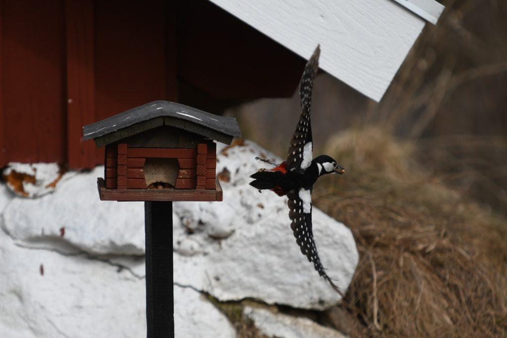 Erwischt: Der Wintersteher Buntspecht nascht gerne am Vogelfutterhäuschen. Foto: Kenneth Schulze