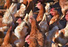 Symbolfoto: Geflügelpest in NRW – Veterinäramt rät weiterhin zur Wachsamkeit.