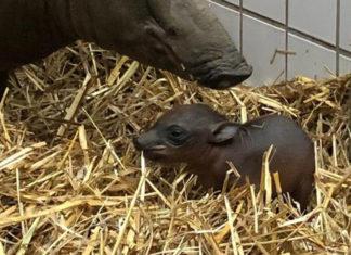 Der Grüne Zoo Wuppertal freut sich über die Geburt eines Hirschebers, der am 3. März 2021 nachmittags um 15.40 Uhr gesund zur Welt gekommen ist. Foto: Stadt Wuppertal