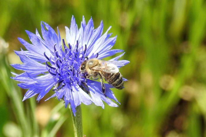 Kornblumen sind insektenfreundlich und hübsch. Foto: Hans Benn